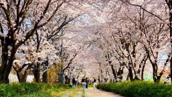 0323 1. 관광진흥과 - 문경의 숨겨진 벚꽃 명소 (3) 금천 강변길.jpg